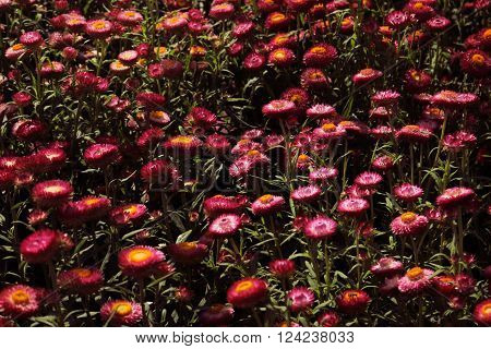 A Beautiful Magentas Helichrysum Flower Background And Texture