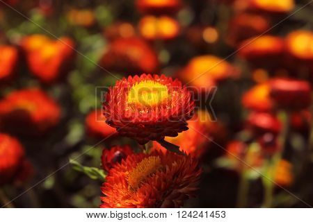 A Beautiful Red Helichrysum Flower With Red And Green Background Of GardenBackground Of Garden