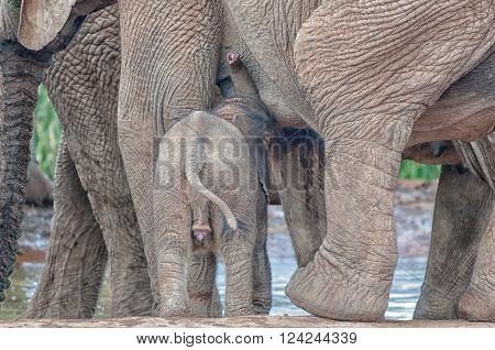 A male elephant calf, Loxodonta africana suckling on his mother