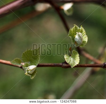 Spring blossoming rod branch close up on a green background