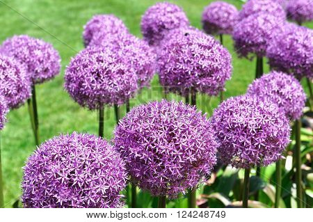 purple allium lucy ball flower blooming in spring