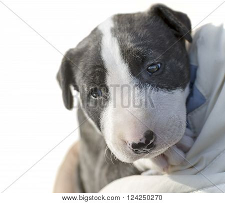 puppy bull Terrier on white background brindle color