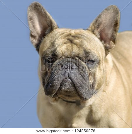 a dog with attentive eyes closeup of French bulldog