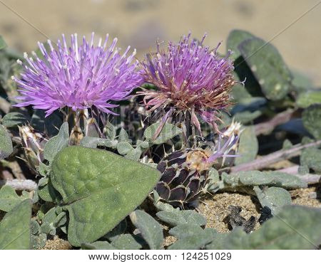 Centaurea aegialophila 