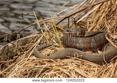 A Northern Water Snake basking in natural habitat.