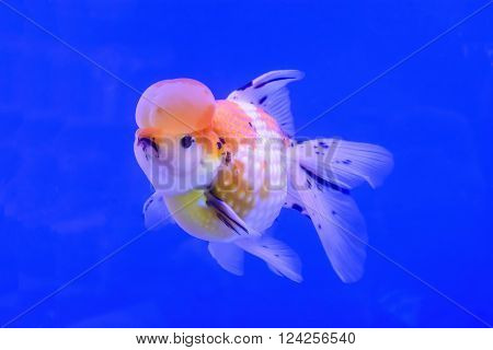 The goldfish isolated in the water background.
