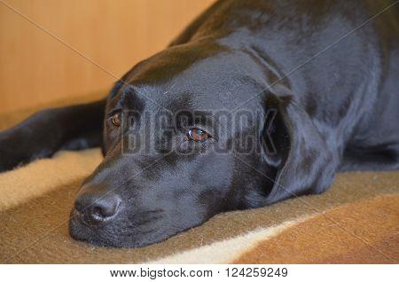 Labrador Retriever resting South Bohemia Czech Republic