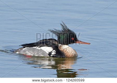 Red-breasted merganser (Mergus serrator) svimming in its natural habitat
