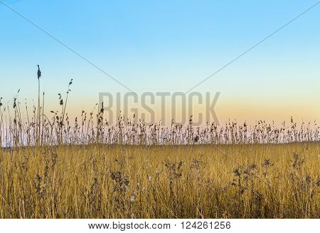 backwater landscape in Zempin, Usedom with reed grass