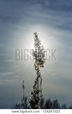 Silhouette Of Head Of Reed Plant In Sunrise