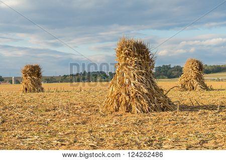 Corn Shocks or stacks in Farm Field during harvest in Lancaster County, Pennsylvania