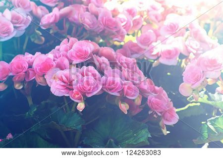 Beautyful begonia flower in the garden. group of begonia flower. fill color effect with vintage style.