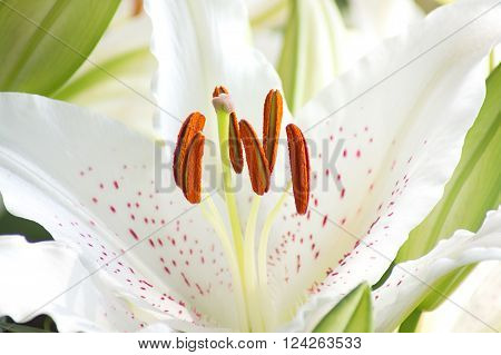 Pistil and stamen of white lily flower in blur background.