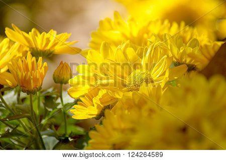 yellow Chrysanthemum flower in the garden. group of yellow chrysanthemum flower on blur background.Select focus.