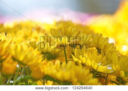 yellow Chrysanthemum flower in the garden. group of yellow chrysanthemum flower on blur background.