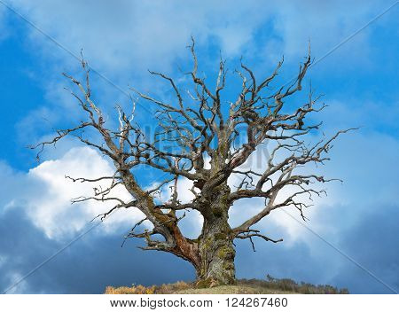 ancient bare oak tree on bright blue sky