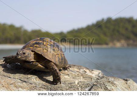 Turtle crawling on the rocky slope.European bog turtle (emys orbicularis).