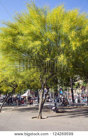 SPAIN, BARCELONA, JUNE, 28, 2015 - People resting in the shade flowering trees Ratama or Parkinsonia aculeata by port in Barcelona, Spain