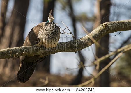 Beautiful peahen roosting on branch in forest landscape