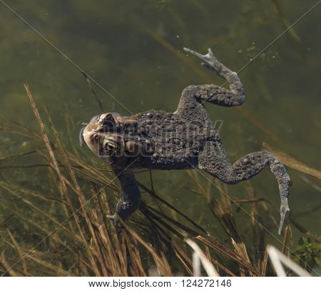 An Eastern American Toad (Anaxyrus americanus) floating atop the water.