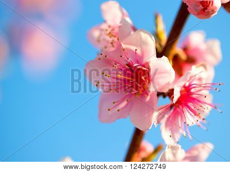 Blurred background. Branches with beautiful pink flowers (Peach) against the blue sky. Selective Focus. Peach blossom in the sunny day.