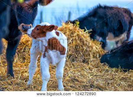Emotional moment between Cow and calf .
