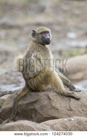 Baboon family play to strengthen bonds and having fun in nature
