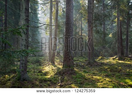 Sunbeam Entering Old Coniferous Stand Of Bialowieza Forest