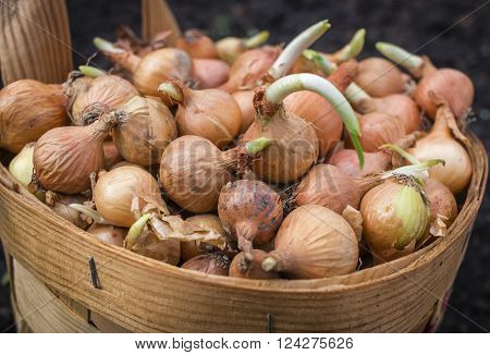 Brown onions With Green Scallions In Basket