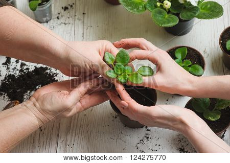 Picture of the old woman's hand and the hand of a young girl planting home plants indoors. Several brown flower pot heap of soil on a light wooden background. Earth Day.