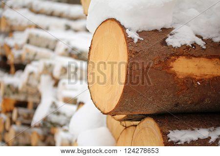 Log of pine-tree. Tree felling in the winter