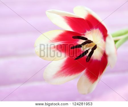Variegated tulip on wooden background, close up
