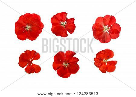Pressed and dried delicate red flowers and petals of geranium (pelargonium). Isolated on white background.