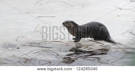 North American river otter (Lontra canadensis) in the wild.  Water mammal with wet fur rests atop a frozen Eastern Ontario lake of melting ice & spring corn snow.