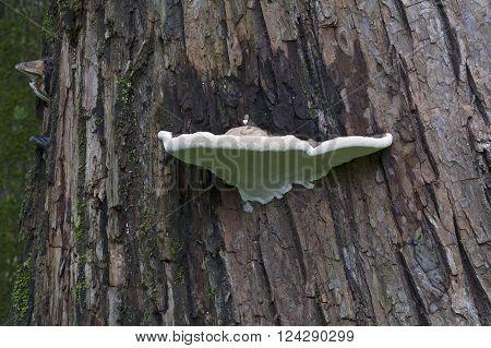 Artist's conk fungus (Ganoderma applanatum). Called Artist's bracket also