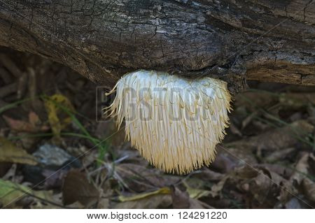 Lion's mane mushroom (Hericium erinaceus). Called Bearded tooth mushroom Satyr's beard Bearded Hedgehog mushroom and Pom pom mushroom
