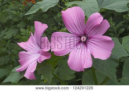 Two pink flowers of Annual mallow (Lavatera trimestris)