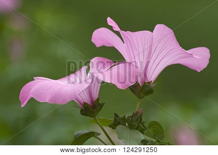 Annual mallow (Lavatera trimestris). Called Rose Mallow Royal Mallow and Regal Mallow also. Another scientific name is Althaeae trimestris