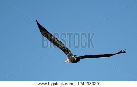 Bald Eagle soaring through the bright blue sky