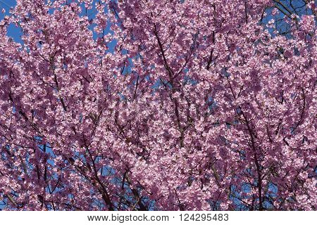 Dream Catcher flowering cherry (Prunus x hybrid