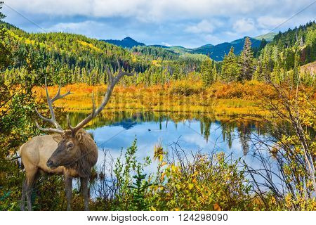The red deer with branchy horns has a rest at the lake among a grass. Warm autumn day in park Jasper, the Rocky Mountains of Canada