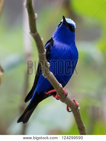 Male Red-legged Honeycreeper (Cyanerpes cyaneus) perched on a branch