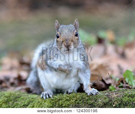 Grey squirrel (Sciurus carolinensis) facing camera. A squirrel looking forward with paw raised on woodland floor