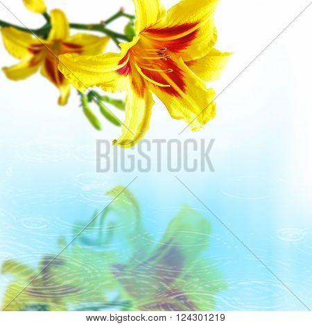 Yellow hemerocallis flowers over the water with drops