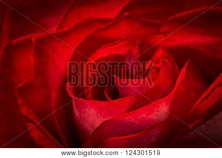 A beautiful closeup of a red rose with dramatic lighting. ** Note: Soft Focus at 100%, best at smaller sizes