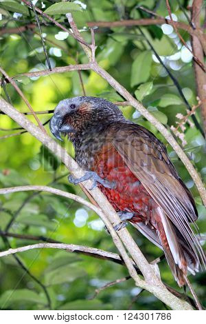 The New Zealand Kaka (Nestor meridionalis) is a large species of parrot of the superfamily Strigopoidea found in native forests of New Zealand.