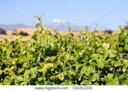 Grape vines growing in Marlborough New Zealand