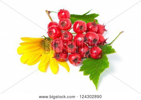 Branch Of Hawthorn Berries And Yellow Flowers