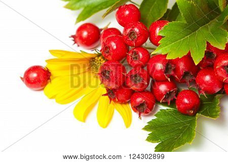 Branch Of Red Berries Of Hawthorn