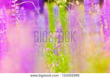 Lupins And Other Meadow Flowers